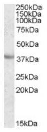 AP16975PU-N - Apolipoprotein A V / ApoA5
