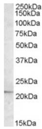 AP16976PU-N - APOBEC3C