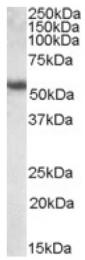 AP16852PU-N - Cytokeratin 13