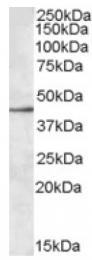 AP16859PU-N - CD329 / SIGLEC8