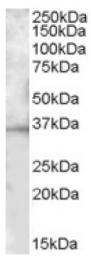 AP16868PU-N - CD272 / BTLA