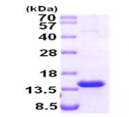 AR09274PU-L - TCL1A / TCL1