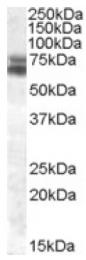 AP16908PU-N - ARNTL / BMAL1