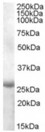 AP16781PU-N - APOBEC2
