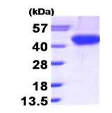 AR09277PU-L - Aurora kinase B