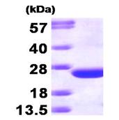 AR09278PU-L - CDC42