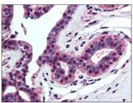 AP08443PU-N - Histone H4