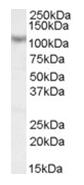 AP16162PU-N - Mastermind-Like Protein 1