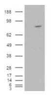 AP16166PU-N - ARHGEF4
