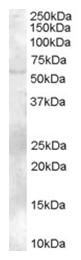 AP16167PU-N - ZBTB32 / FAZF