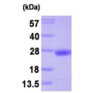 AR09281PU-L - PRL3 / PTP4A3