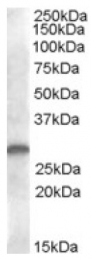 AP16786PU-N - CLEC1B