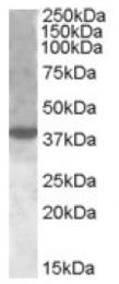 AP16787PU-N - XBP1 / TREB5