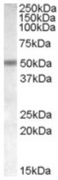 AP16804PU-N - Neuronal acetylcholine receptor subunit beta-3