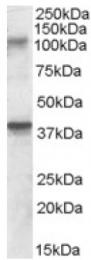 AP16813PU-N - GRIK3 / GLUR7
