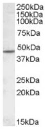 AP16818PU-N - Neuronal acetylcholine receptor subunit beta-2