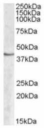AP16827PU-N - Sphingosine kinase 1 (SPHK1)