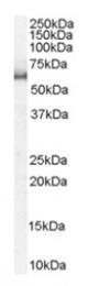 AP16196PU-N - KPNA1 / Importin alpha-1