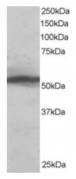 AP16197PU-N - KPNA2 / Importin alpha-2