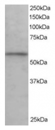 AP16198PU-N - KPNA3 / Importin alpha-3