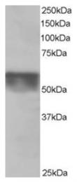 AP16199PU-N - KPNA4 / Importin alpha-4