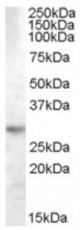 AP16695PU-N - 14-3-3 protein theta