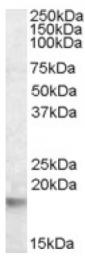 AP16696PU-N - 14-3-3 protein theta