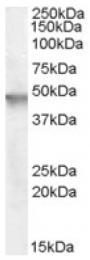 AP16702PU-N - Cytohesin 2