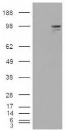 AP16709PU-N - Neuroligin 3