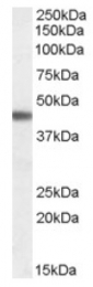 AP16716PU-N - Beta-3 adrenergic receptor