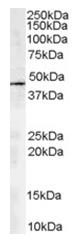 AP16233PU-N - Centractin alpha