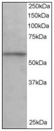 AP08565PU-N - KPNA3 / Importin alpha-3