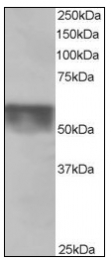 AP08566PU-N - KPNA4 / Importin alpha-4