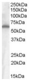 AP16727PU-N - CD344 / FZD4 / Frizzled-4