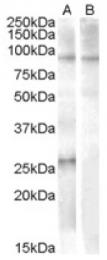 AP16728PU-N - APOBEC2