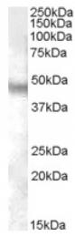 AP16730PU-N - Neuropeptide FF receptor 1