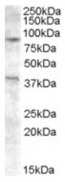 AP16748PU-N - Exonuclease 1 (EXO1)
