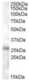 AP16751PU-N - RASSF3