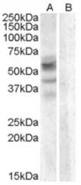 AP16752PU-N - Arylsulfatase D