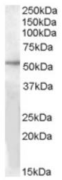 AP16755PU-N - GPR142 / PGR2