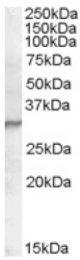 AP16766PU-N - PGLYRP1 / PGRPS