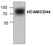 AP00142PU-N - CD44