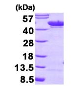 AR09287PU-L - Alpha-enolase / ENO1