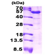 AR09288PU-L - ALDH1