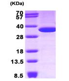 AR09289PU-L - Annexin A5 / ANXA5