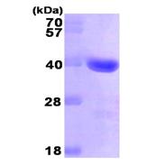 AR09292PU-L - Galectin-4