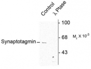 AP08748PU-N - Synaptotagmin