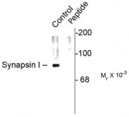 AP08742PU-N - Synapsin-1