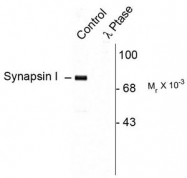 AP08741PU-N - Synapsin-1