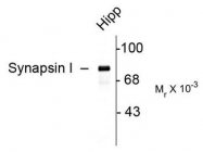 AP08740SU-N - Synapsin-1